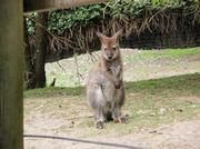 091214_Noby4_wallaby.jpg